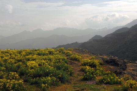 Meskal flowers cover the landscapes in the Simien Mountains